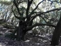 vieux chênes, courmettes