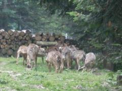 07-07-2009 loups au centre Alpha St Martin vésubie 0672 (7).jpg