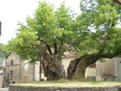 tilleul de Sully, Prévenchères, arbre remarquable