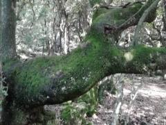 chênes centenaires, courmettes