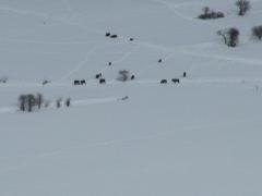 Zoom 20 sur les bisons.jpg